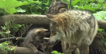 """Some Little Ones Learning How to """"Wolf"""""""