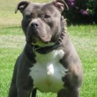 Pit Bull Jumps in to Stop Man Beating His Wife