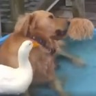 Dog Has Been Best Friends With Duck Since He Was a Pup