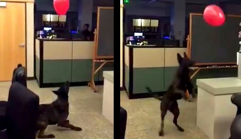 Police Dog Goes Berserk for a Balloon