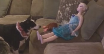 Dog Tries to Get a Doll to Play Fetch