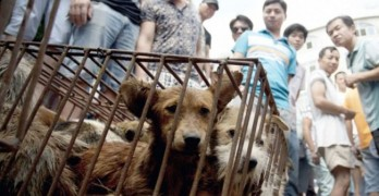 Animal Rights Advocates Go After Chinese Dog Meat Festival