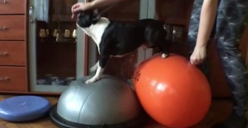Monday Morning Fitness Inspiration: Eddie the Boston Terrier