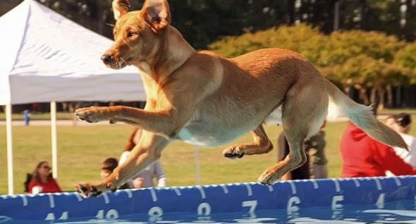 Sandy's a veteran DockDog,  now competing in the senior category. Photo: Daily Press