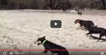Australian Kelpie Dogs Go Viral