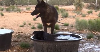 No Bath For You! Playful Wolf Ruins His Friend's Soak Time