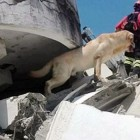 Brave Dog Dies After Saving Seven From Quake Rubble