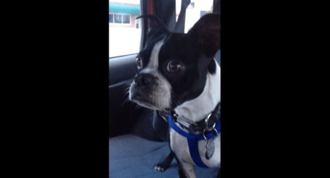 Bruce the Boston Nails His Animal Impressions