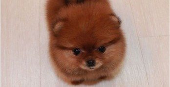Power Puff! Tiny Pom Means Business.