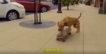 Not Just Another Dog on a Skateboard