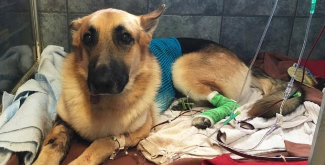 Over $50,000 Raised for Rescue Dog That Took Snake Bites to Save Little Girl