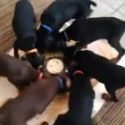 Pinwheel of Puppies Eating Together