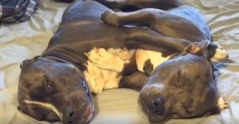 A Pair of Adorable Pit Bulls Cuddling