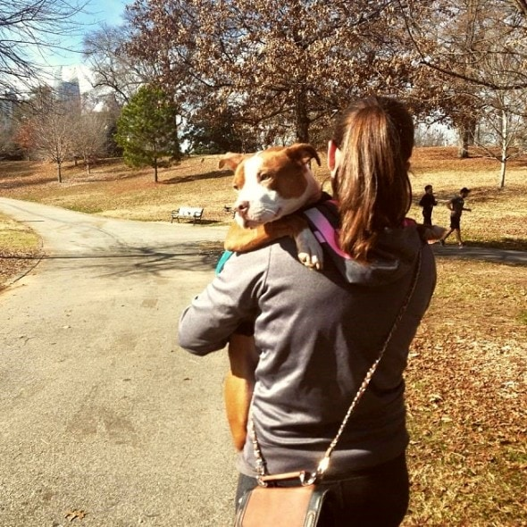 5.18.16 - This Is What I've Learned While Fostering Pit Bulls6