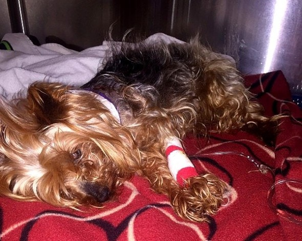 5.18.16 - Tiny Yorkie Survives Brutal Coyote Attack1