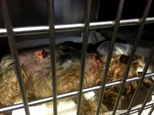 5.18.16 - Tiny Yorkie Survives Brutal Coyote Attack2