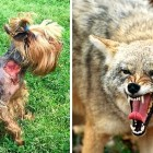 Tiny Yorkie Survives Brutal Coyote Attack