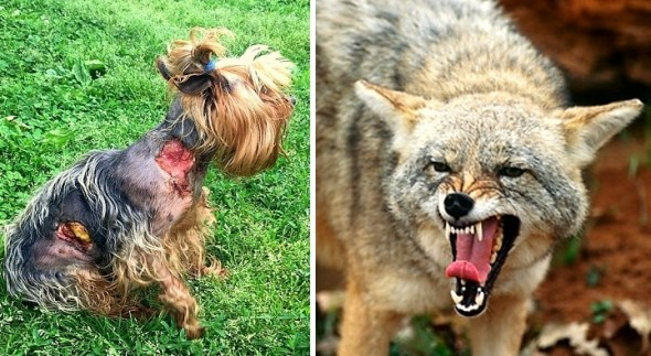 5.18.16 - Tiny Yorkie Survives Brutal Coyote Attack5