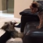 Dog Does Step Aerobics to Annoy Brother