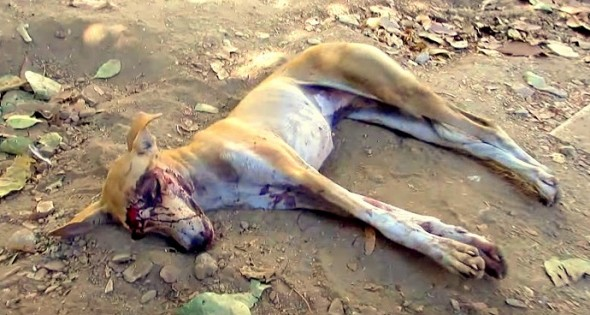 5.19.16 - Dog with Massive Head Injury Saved in India1