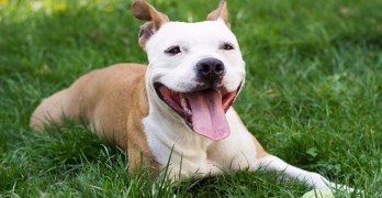 Bill Proposed to Stop New York Landlords Forbidding Pit Bulls on Property