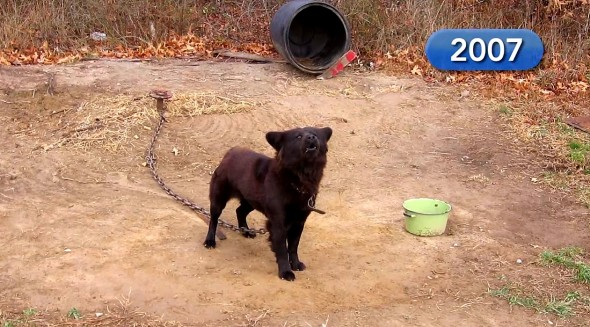 5.25.16 - Dog Chained for Nine Years Is Freed1