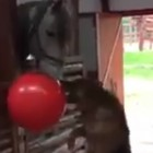 Dog and His Horse Best Friend Play Tug-of-War