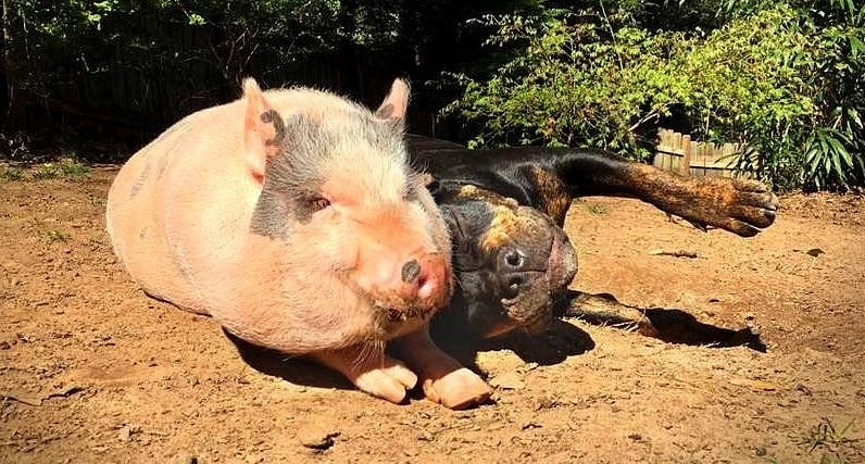 Rescue Pig Falls Madly in Love with His Dog
