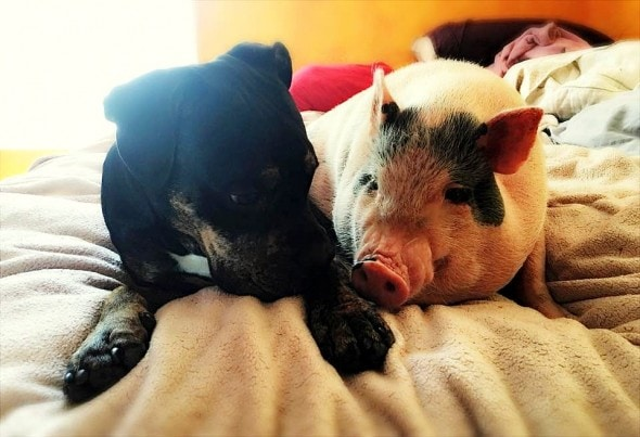 5.4.16 - Rescue Pig Falls Madly in Love with His Dog2