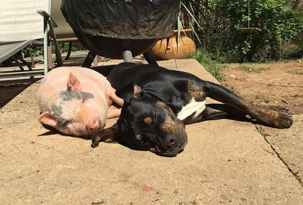 5.4.16 - Rescue Pig Falls Madly in Love with His Dog7