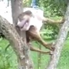 Dog Climbs Tree to Get Ball Back