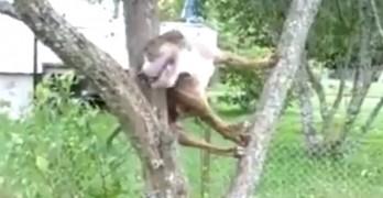 Dog Climbs Tree to Get Ball Back