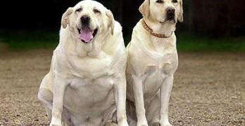 """I'm Not Fat, I'm Big Boned!"" Study Says Labrador Genetics Linked to Obesity"