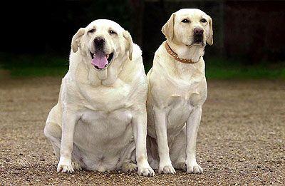 """I'm Not Fat, I'm Big Boned!"" Study Says Labrador Genetics Linked to Obesity"
