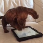 Game On! Dachshund Pup Kills It On The iPad