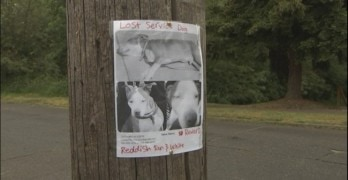 Manny is Missing. Seattle Woman Pleads For Return of Service Dog.