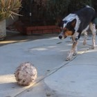 Wednesday Wow! Cattle Dog Impresses With Epic Skills & Patience