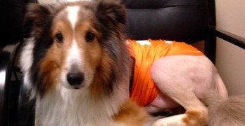 11th Hour Diagnosis Saves Collie From Euthanization