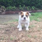 Bedazzled Baby Bulldog Discovers Rain