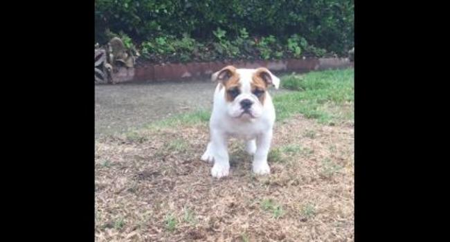 Bedazzled Baby Bulldog Discovers Rain