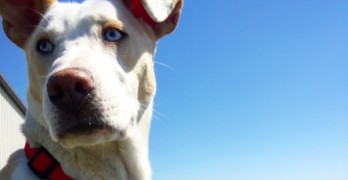 Jax Needs Your Help to Fight Canine Blastomycosis