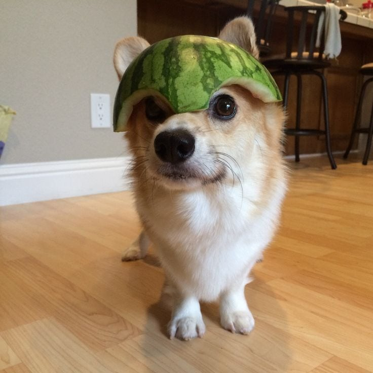 Dogs Have Watermelon