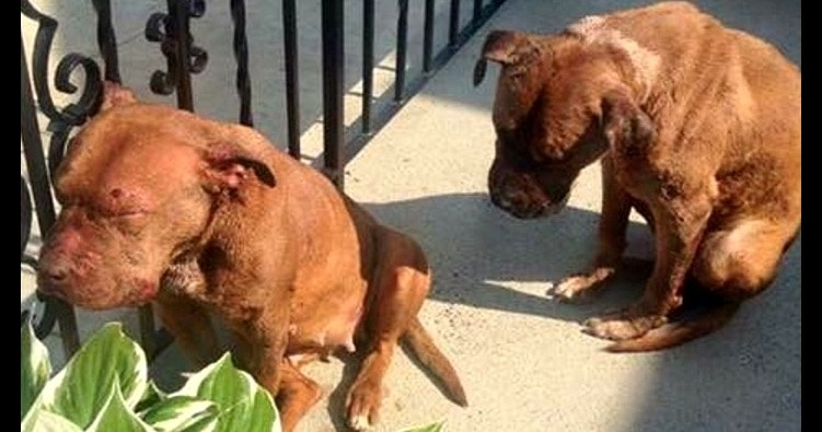 Two Battered Broken Abandoned Bait Dogs Saved From A