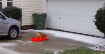 Bulldog Learns Physics Lesson the Hard Way