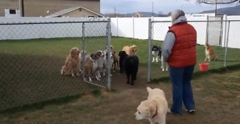 Dogs Wait Patiently Through Roll Call Before Chow Time