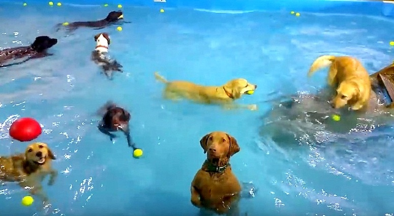 Dog Stops Swimming at Party to Pose for the Camera Hoping for Treats