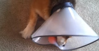Dog Adorably Struggles to Master Playing Ball With a Cone On