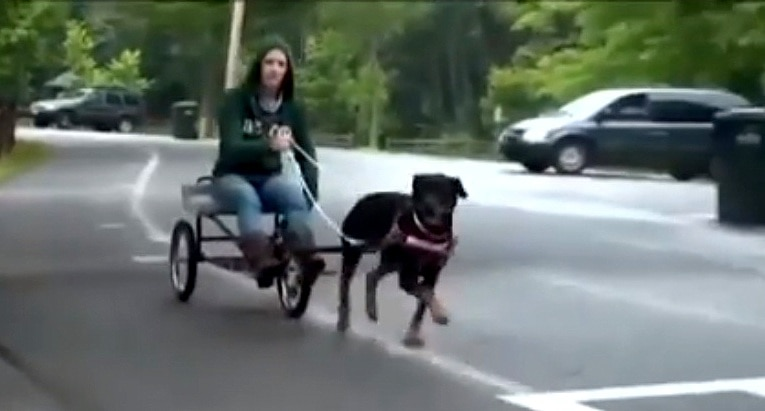 Rottweiler Takes Human on a Dog-Cart Ride