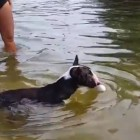 Bull Terrier Refuses to Give Up on Grabbing Ball out of Water