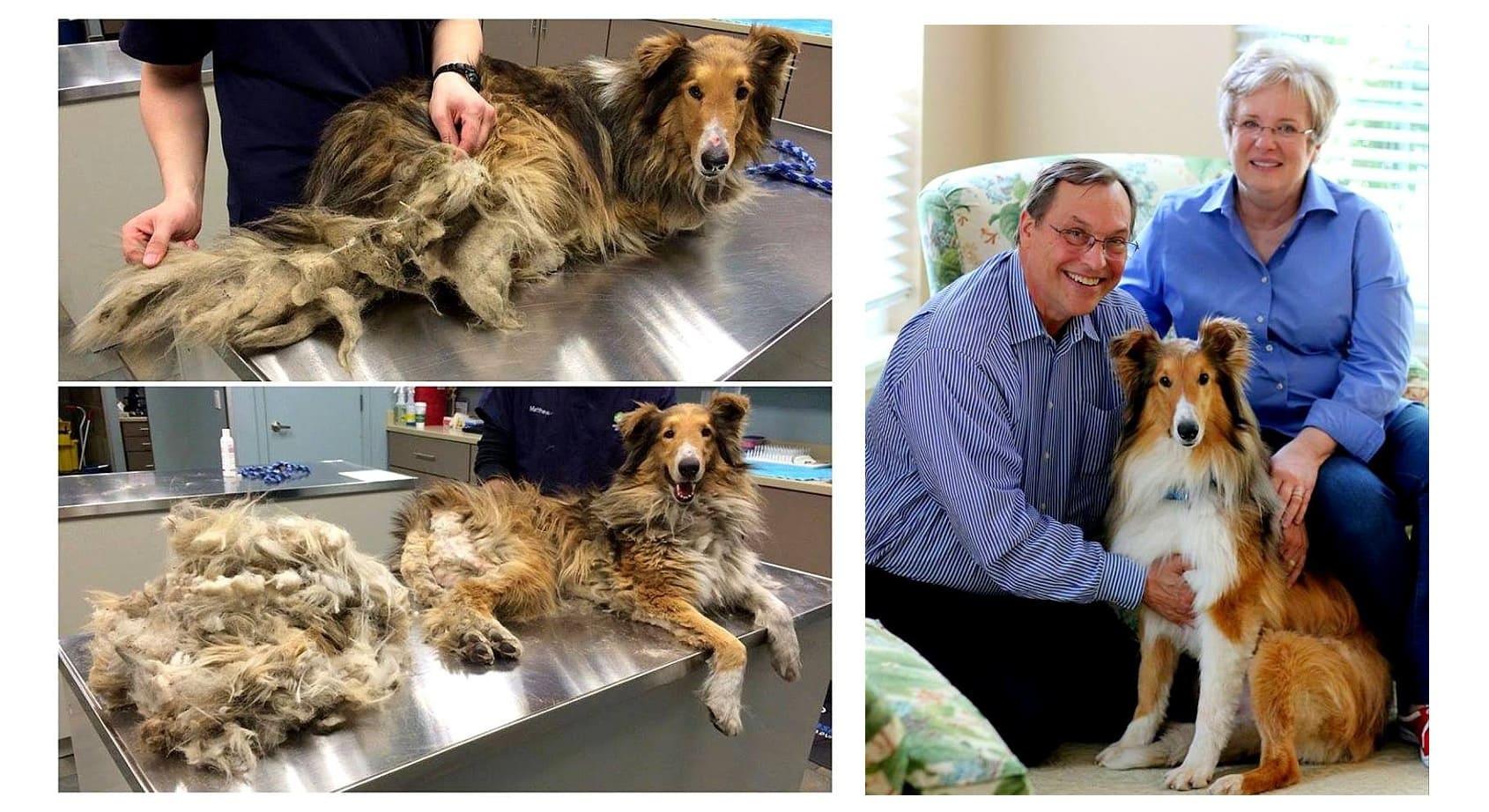 UPDATE: Collie Matted So Badly He Couldn't Even Relieve Himself Has Now Been Adopted